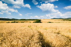 Wheat land background Royalty Free Stock Images