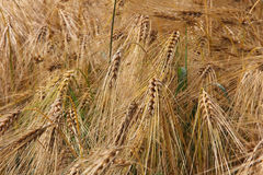 Wheat in land Stock Image