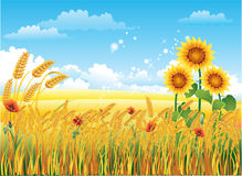 Wheat landscape. With sunflowers on blue background Stock Images