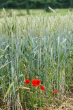 Wheat landscape with poppy stock photos