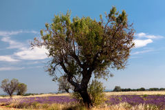 Wheat and lavender Royalty Free Stock Photo