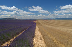 Wheat and lavender fields 1. Fields of wheat lavender and clouds in Provence at Valensole, in the south of France Stock Photography