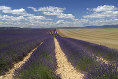 Wheat and lavender fields. Fields of wheat and lavender and clouds in Valensole, in the south of France Stock Photo