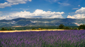 Wheat and Lavender fields Stock Image