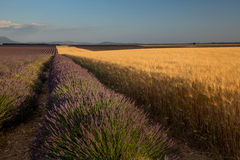 Wheat and Lavender, France Royalty Free Stock Images