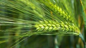Wheat lightend on sunny day, motion on slight wind, side short. Close up, 4K 3840 x 2160 UHD stock video