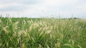 Wheat with a lot of weed around. Traveling on the road stock footage