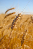Wheat macro. Stock Image