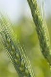 Wheat Macro. Close up of wheat heads Stock Photos