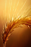 Wheat macro Stock Photos