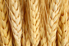 Wheat macro agriculture & farming concept Stock Photos