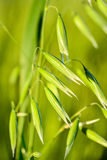 Wheat in macro. Seed of love wheat in macro close-up royalty free stock image