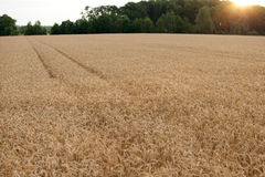 Wheat maturing in the summer sun, Aerial Stock Photography