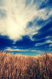 Wheat meadow Stock Image