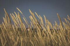 Wheat meadow