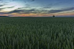 Wheat meadow at sunset. Alone tree on green wheat meadow at sunset Royalty Free Stock Photo