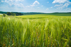 Wheat meadow under the sunny sky Royalty Free Stock Photo
