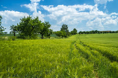 Wheat meadow under the sunny sky Royalty Free Stock Images