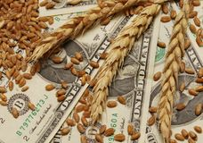 Wheat and money. Wheat and dollar banknote in close up Royalty Free Stock Image