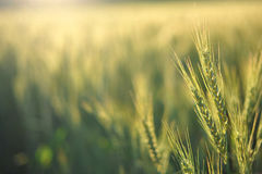 Wheat in the morning Royalty Free Stock Images