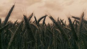 Natur. Himmel Wolken Weizen grün blau stock photography