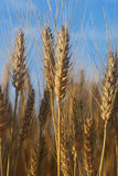Wheat in morning light Stock Image