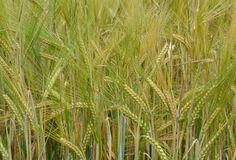 Wheat of a new crop Stock Photography