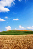 Wheat and oat fields. Wheat fields in the foreground, a gentle hill covered in grass, oat fields in the background and the blue sky create a landscape of Stock Images