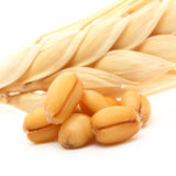 Wheat and oat grain isolated royalty free stock images
