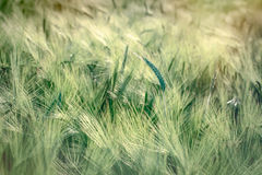 Wheat, oat, rye, barley - unripe field of agricultural crop Stock Photos