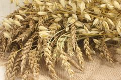 Wheat and oats. Cut ears of wheat and oats Stock Photography