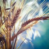 Wheat and oats. Spikes of wheat and oats closeup. Cereals plants in soft focus. Spikes of wheat and oats closeup. Cereals plants in soft focus. Oat ears and ripe royalty free stock photography