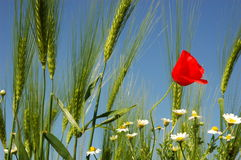 Wheat ok sky. Poppy and ear of wheat Royalty Free Stock Images