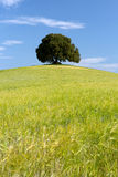 Wheat ores and single tree. Large single oak tree standing on a hill in a wheat field in Tuscany Royalty Free Stock Photography