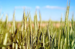 Wheat over blue sky Royalty Free Stock Photo