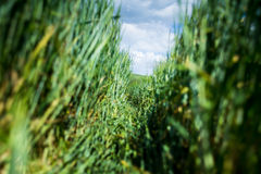 Wheat path. Green wheat shot in the middle of the day Royalty Free Stock Image