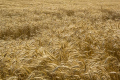 Wheat pattern Royalty Free Stock Photography