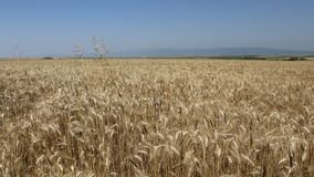 Wheat. The picture was filmed in farm near the town of Yambol stock video footage