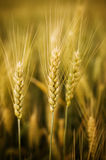 Wheat plant Stock Photo