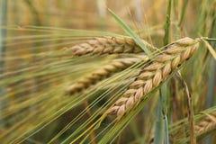Wheat plant Stock Photo