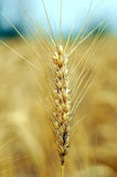 Wheat plant. Isolated from rest of the field Royalty Free Stock Images