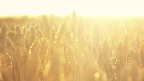 Wheat plant with bright sunshine. Field of wheat in the beautiful late evening sunshine stock footage