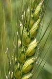 Wheat Plant Close up Royalty Free Stock Image