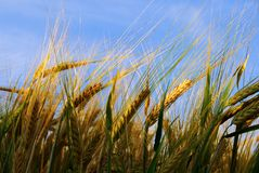 Wheat plant illuminated with sunlight Royalty Free Stock Photos