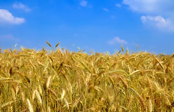 Wheat plant meadow Royalty Free Stock Images