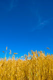 Wheat plant meadow Stock Photo