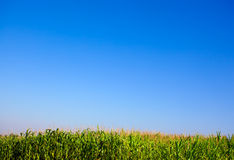 Wheat plant meadow Stock Photography