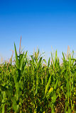 Wheat plant meadow Stock Images