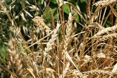 Wheat Plant. With ripe seeds Royalty Free Stock Photos