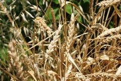 Wheat Plant Royalty Free Stock Photos